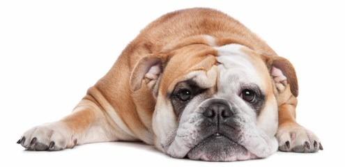 Bardstown Bulldog - Dog Breeders