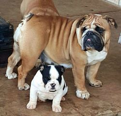 Masiffs & English Bulldogs - Dog Breeders