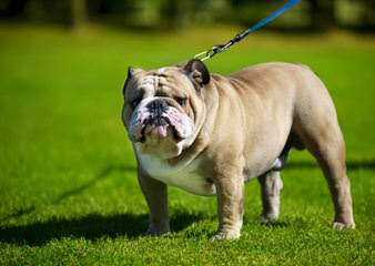 T And C English Bulldogs - Dog Breeders