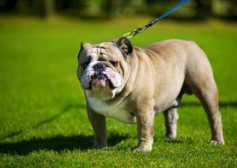 L'Egance Farm & Kennel - Dog Breeders