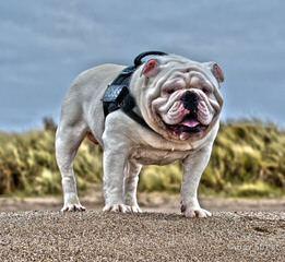 Jodies Bullies - Dog Breeders
