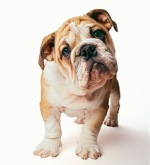 Bratt Bulldogs - Dog Breeders