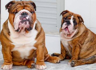 English Bulldog - Dog Breeders