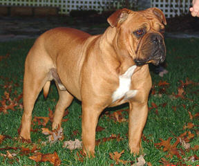 Peres Bulldogs On Broadway - Dog Breeders