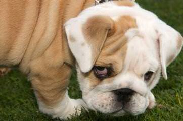 Lake Valley Bulldogs - Dog and Puppy Pictures