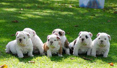 Royals Bulldogs - Dog Breeders