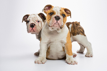 13Week Old. Female English Bulldog - Dog Breeders