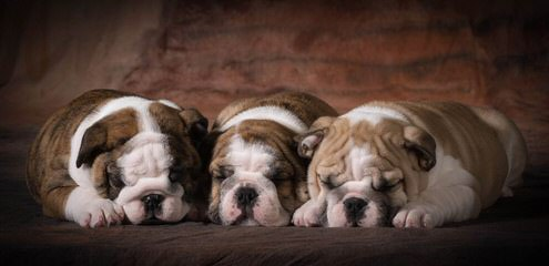Waltmans English Bulldogs - Dog Breeders