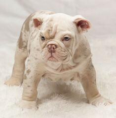 Royalbella - Dog Breeders