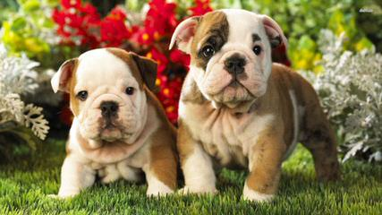 Best of British Bulldogs - Dog Breeders