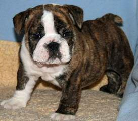 Allarnicebulldog - Dog Breeders
