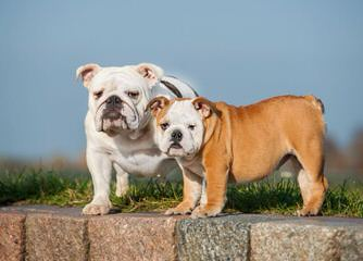 English Bulldog Needed To Breed My Female. - Dog Breeders
