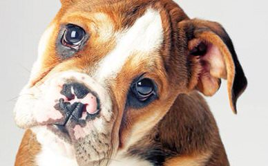 English Bulldog Needed To Breed My Female. - Dog Breeders