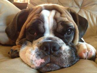 Bullpaws Bulldog - Dog Breeders