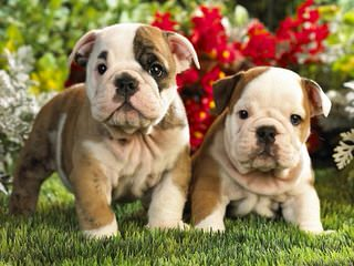 Debbies Bulldogs - Dog Breeders