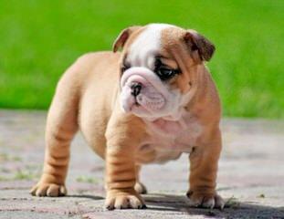 Kanteel English Bulldogs - Dog Breeders