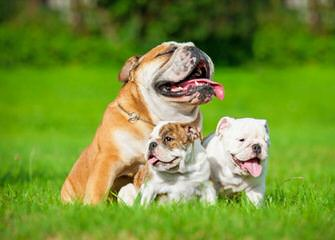 Red Dragon Kennel – English Mastiff, English Bulldog, Dosa Korean Mastiff - Dog Breeders