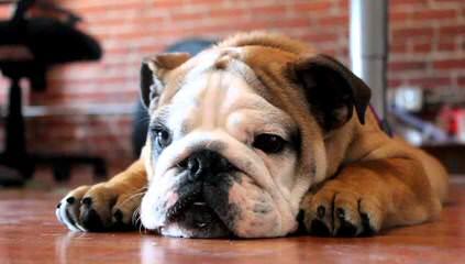 Male English Bulldog To Breed With Female Bulldog - Dog Breeders