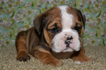Slush Puppy Bulldogs - Dog and Puppy Pictures