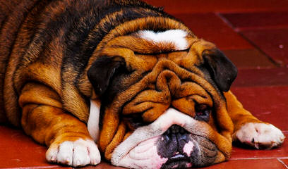 Disguise English Bulldogs - Dog Breeders