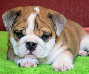 Champion Bulldogs - Dog Breeders