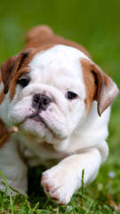Adopt English bulldog - Dog Breeders