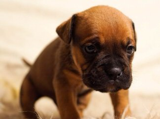 Outstanding Quality English And French Bulldog Puppies - Dog Breeders
