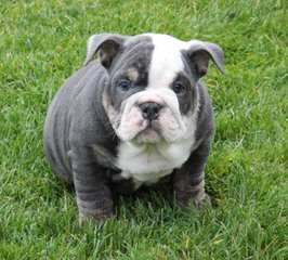Champion Sired English Bulldog Puppies! - Dog Breeders