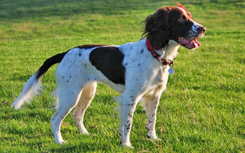 English Springer Spaniel Dogs and Puppies