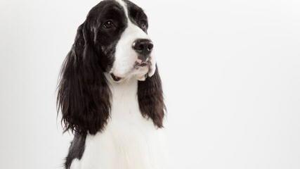 Cedarhome Springers - Dog Breeders