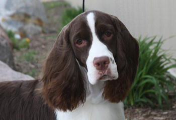 Akc English Springer Spaniels - Dog Breeders
