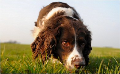 English Springer Spaniel Puppies - Dog Breeders