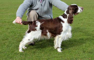 1St And 10 English Springer Spaniels - Dog Breeders