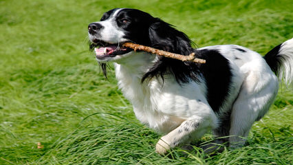 Akc English Springer Spaniels Liver & White - Dog Breeders