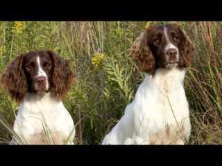 BOWMANS SPRINGERS - Dog Breeders
