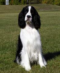 Akc English Springer Spaniels Liver & White - Dog Breeders