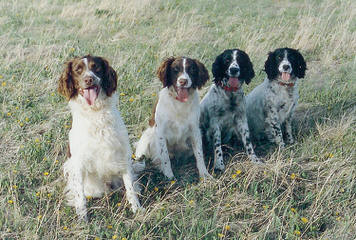 Female Akc Ess Looking For Akc Sire York Pa - Dog Breeders