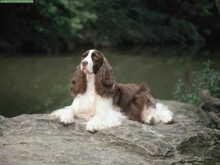 Quality Akc & Ukc English Springer Spaniels - Dog Breeders