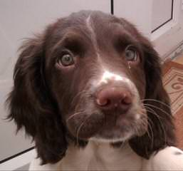 A K C English Springer Spanials - Dog Breeders