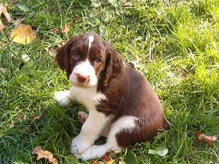 English Springer Spaniel Puppies For Sale / English Springer Spaniel