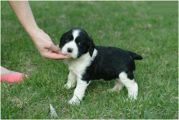 Field Breed Springer Spanials - Dog Breeders