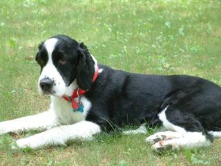 Holverson's Springer Spaniels - Dog Breeders