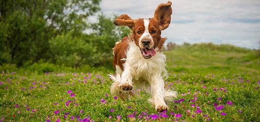 Akc English Springer Spaniels - Dog Breeders