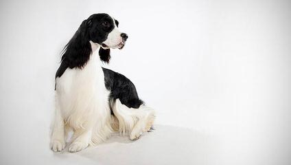 A K C English Springer Spanials - Dog Breeders