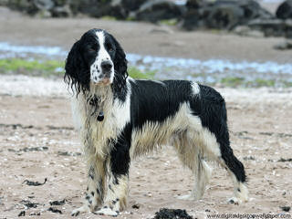 Akc Englsih Springer Spaniel Puppies - Dog Breeders