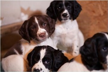 English Springer Spaniel Puppies - Dog Breeders