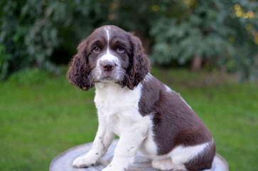 Quality Akc & Ukc English Springer Spaniels - Dog Breeders