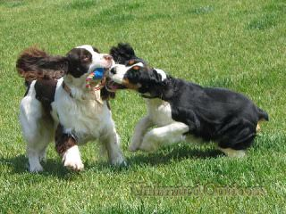 English Springers Spaniels - Dog Breeders