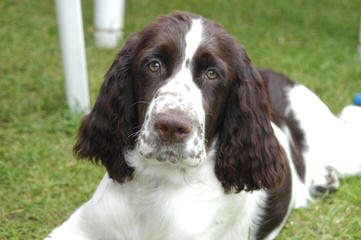 Field Breed Springer Spanials - Dog Breeders