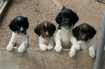 Beautiful 9 Week-Old Liver Male - Dog Breeders